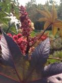 Rhizinus - Der Wunderbaum