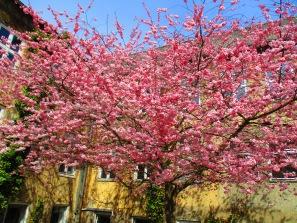Kirschblütenrosa