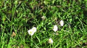 Gänseblümchenweiß