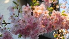 Blütenrosa