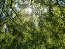 seltene Nadelbäume