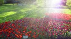Tulpen in der Sonne, Patentulpen