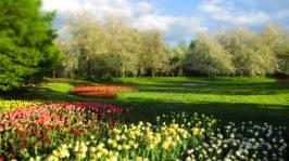 und noch mehr Tulpen