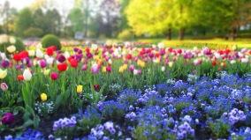 Tulpen und Stiefmütterchen und Vergissmeinicht