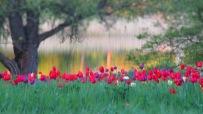 Tulpenwiese am Seeufer
