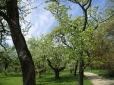 Birnenbäume