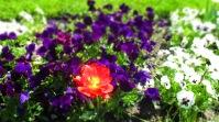 rot in lila