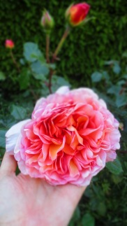 wunderschöne große Rosen
