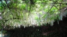 weißer Glyzine-Blütenhimmel