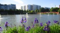 lila Iris am Rande des Engelbecken