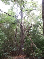 Ein wunderschöner, alter, knorriger Baum