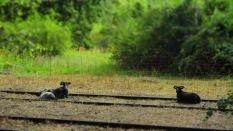 Auch die Schafe scheinen sich in den Gleisen wohl zu fühlen