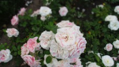 Wunderschöne Rosen (Aspirinrosen ;))
