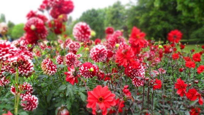 XII – Zwölfter Stern, die zweite – Britzer Garten, DAHLIENFEUER