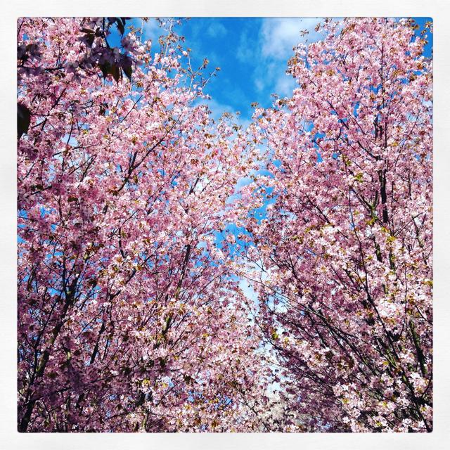 XIII – Dreizehnter Stern, die zweite – Gärten der Welt, Berlin – Kirschblüten Hanami