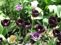 TulipanZauberblüte_6709