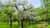 Die Apfelbäume blühen auch