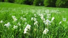 weiße Narzissen-Flecken auf grüner Frühlingswiese
