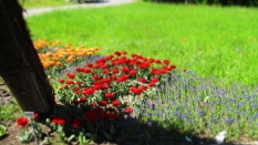 TulipanZauberblüte_6725