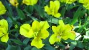 TulipanZauberblüte_6726