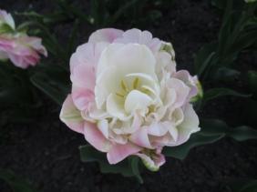 TulipanZauberblüte_6729