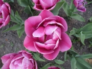 TulipanZauberblüte_6730