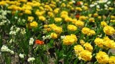 TulipanZauberblüte_6733