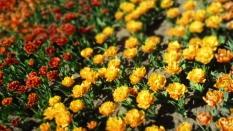TulipanZauberblüte_6735