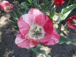 TulipanZauberblüte_6740