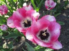 TulipanZauberblüte_6743