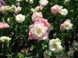 TulipanZauberblüte_6744