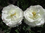 TulipanZauberblüte_6746