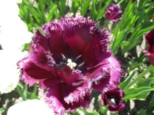 TulipanZauberblüte_6747