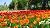 TulipanZauberblüte_6750