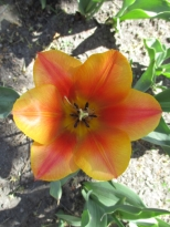 TulipanZauberblüte_6753