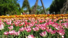 TulipanZauberblüte_6755