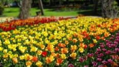 TulipanZauberblüte_6756