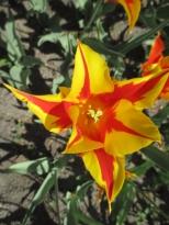 TulipanZauberblüte_6757