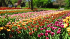 TulipanZauberblüte_6760
