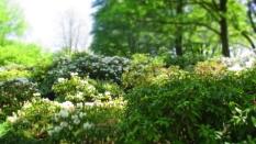 TulipanZauberblüte_6773