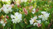 TulipanZauberblüte_6775