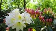 TulipanZauberblüte_6776