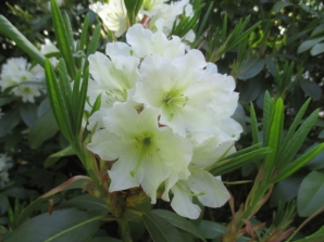 TulipanZauberblüte_6778