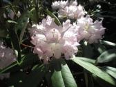 TulipanZauberblüte_6779