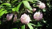 TulipanZauberblüte_6780