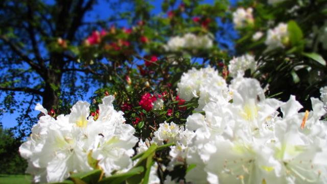 XII – Zwölfter Stern, die dritte – Britzer Garten, TULIPAN & ZAUBERBLÜTEN