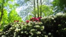TulipanZauberblüte_6784