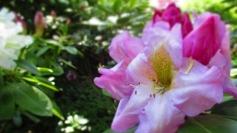 TulipanZauberblüte_6793