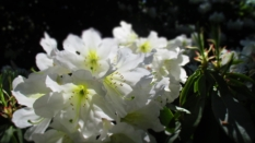 TulipanZauberblüte_6794